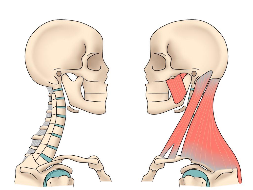 Vista anatomía del cuello