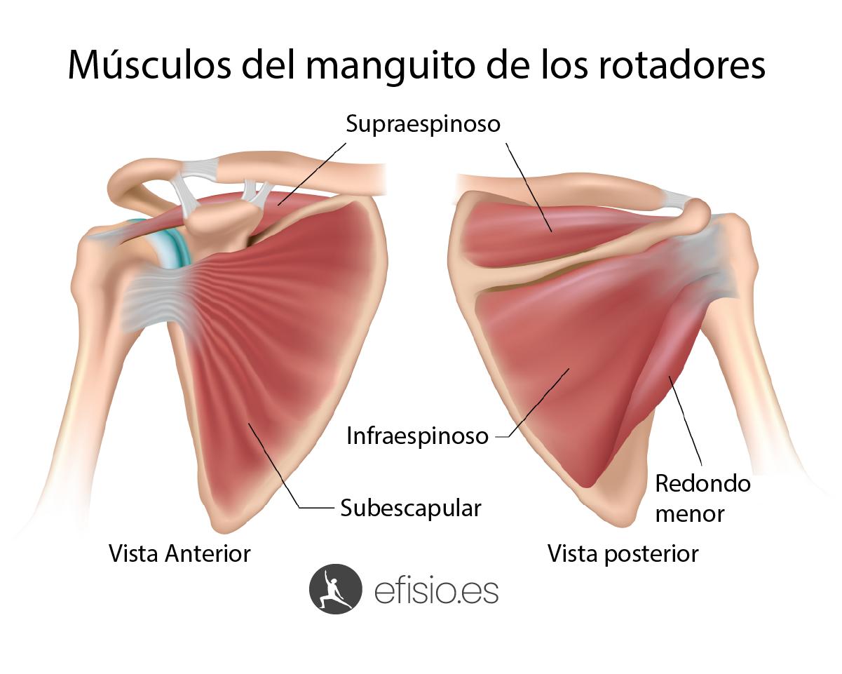 anatomia musculos manguito rotadores