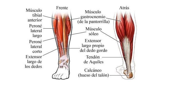 Musculos de la pantorrilla