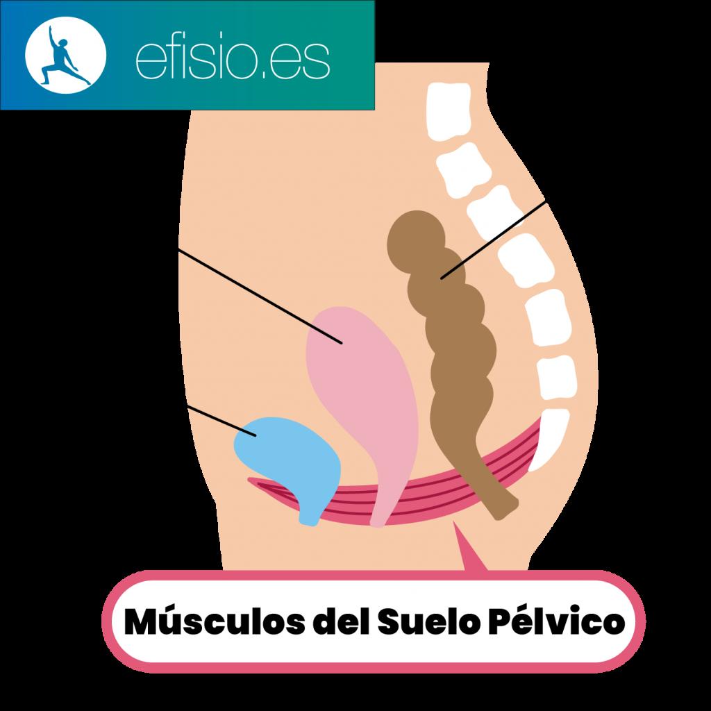 Musculos suelo pelvico